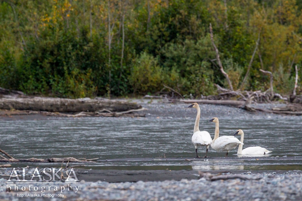 Trumpeter Swans stand on the shore of Lowe River in Valdez.
