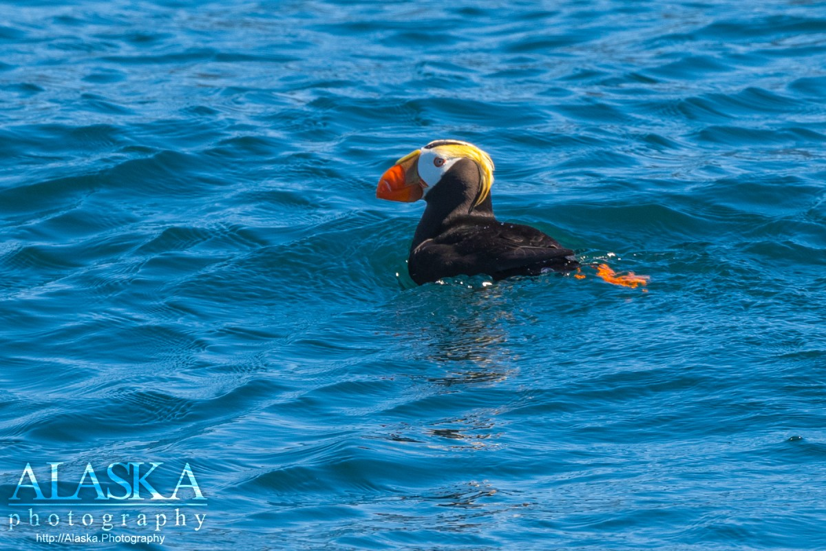 A tufted puffin floats off Porpoise Rocks in Hinchinbrook Entrance.