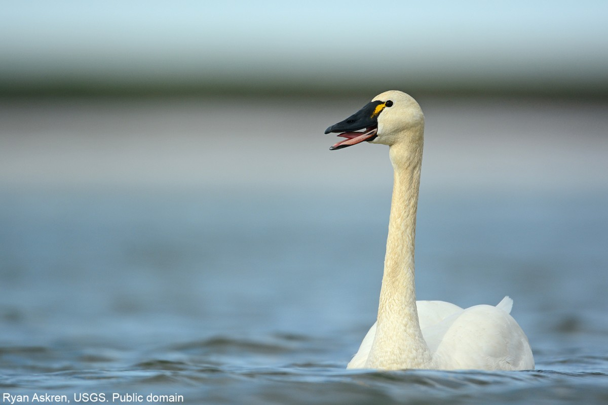 Tundra Swan swimming on a lake in northern Alaska. Ryan Askren, USGS. Public domain