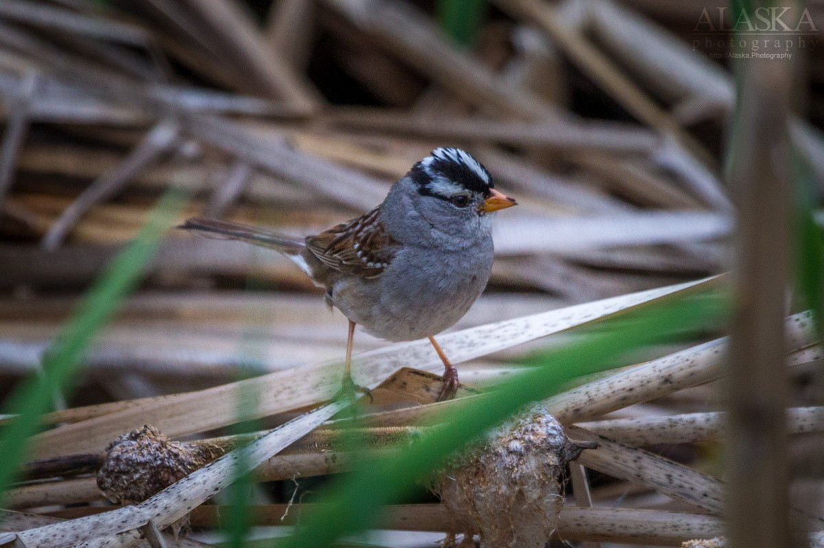 White-crowned Sparrow in the cattails near Fairbanks.