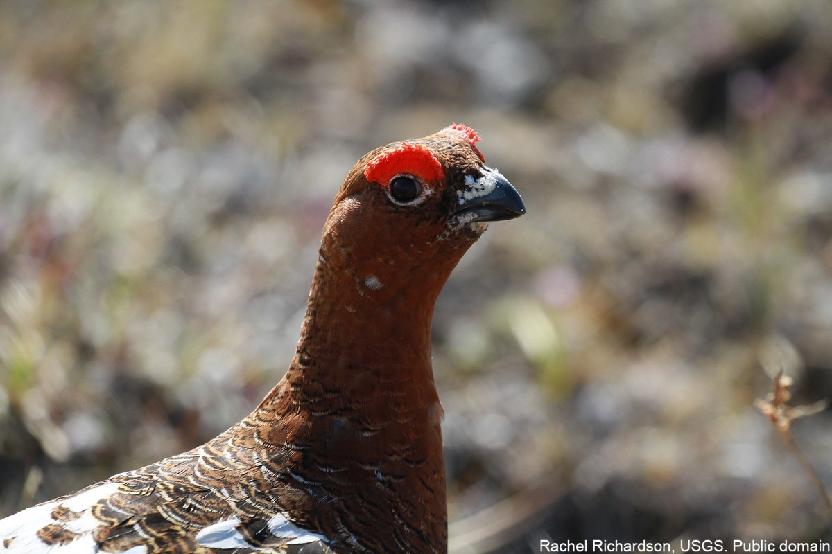 A closeup of a male Willow Ptarmigan. Rachel Richardson, USGS. Public domain.