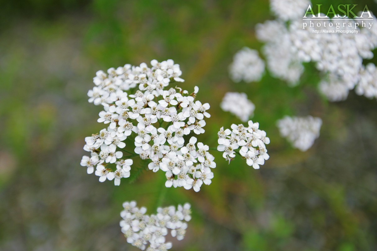 Yarrow growing in Haines.