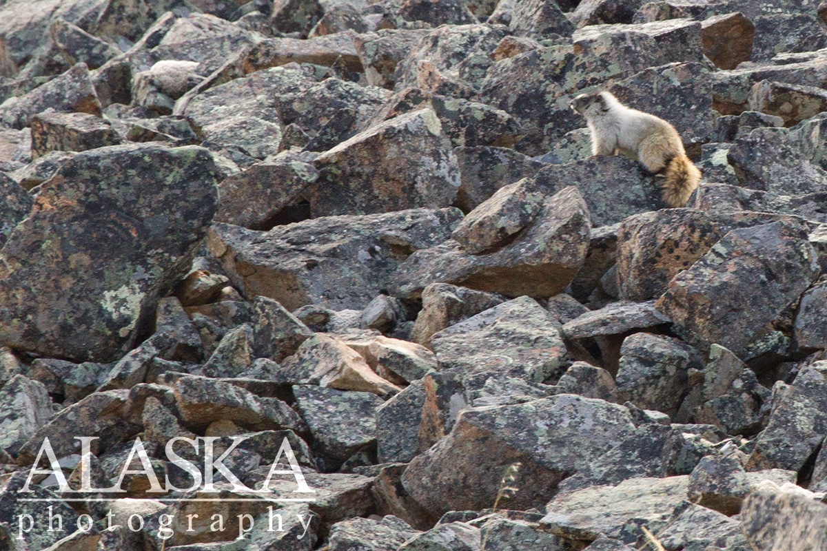 A hoary marmot stands watch over its rock field.
