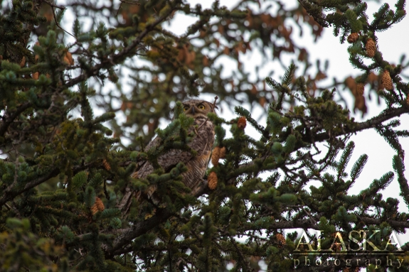 A great horned owl sits in a spruce tree near Valdez.