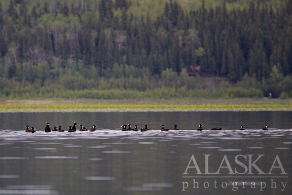 A flock of surf scoters swim on Quartz Lake after 10pm in late June.