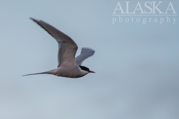 Arctic tern flight around the lake looking for a meal.