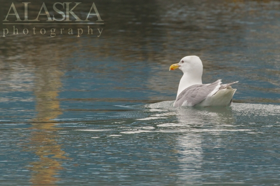A Glaucous-winged gull takes a swim break near Solomon Gulch.