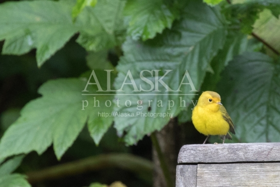 A yellow warbler outside Valdez.