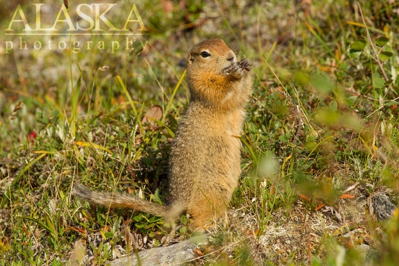 An arctic ground squirrel munches right off Savage Alpine Trail.