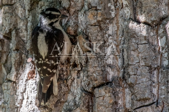 A downy woodpecker clings to the side of a cottonwood.