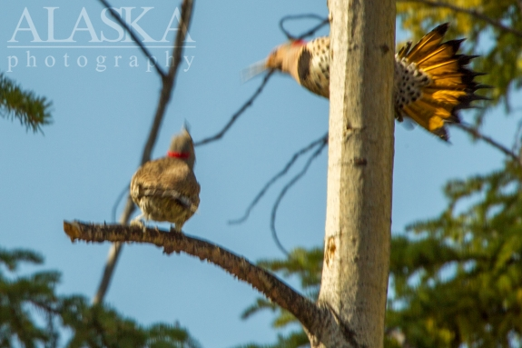 Flickers dance and display while sizing eachother up.