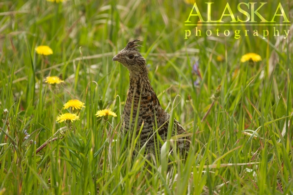 A female ruffed grouse stands in the grass drawing attention to herself to protect her chicks hiding in the nearby grass.