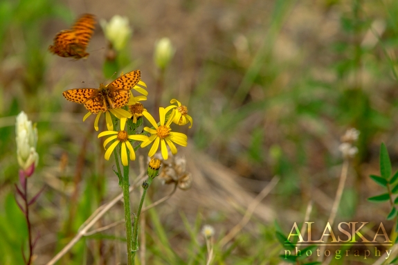 Arctic Fritillary on black-tipped groundsel near Glennallen.