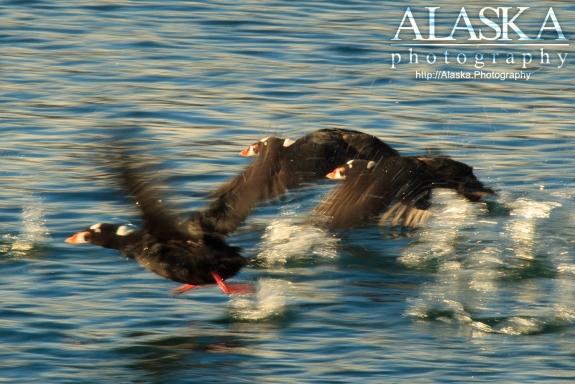 Surf Scoters run across the surface of Port Valdez.