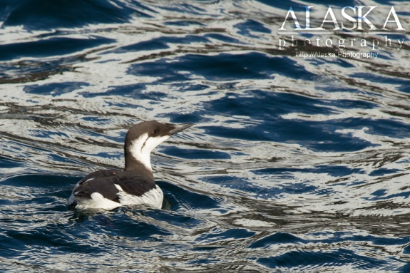 A common murre in Port Valdez.