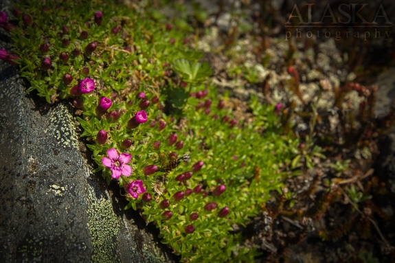 Moss Campion growing on Thompson Pass, near Valdez.