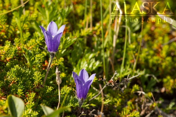 Mountain Harebell near Twentyseven Mile Glacier.