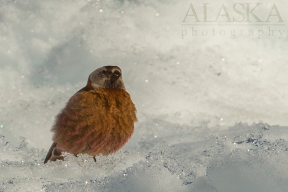 A gray-crowned rosy finch looks for an easy meal around Denali (Mt McKinley) Basecamp.