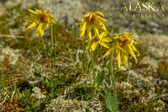 A grouping of frigid arnica on Thompson Pass near Valdez.