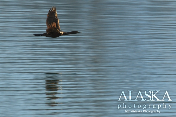 A Pelagic Cormorant flies above the surface of Shoup Bay.