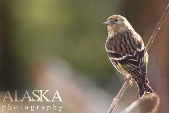 A pine siskin, up the Klehini River drainage.