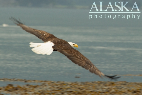 A bald eagle looks for fisherman scraps along Port Valdez.