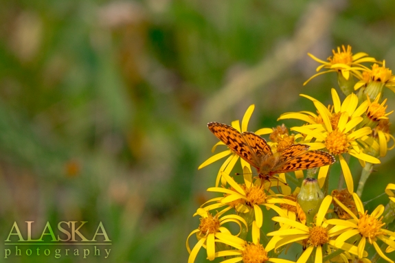 Silver-bordered fritillary on black-tipped groundsel outside near Glennallen.