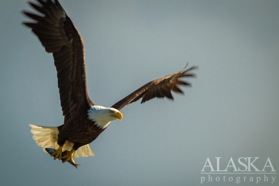 A bald eagle flies away with a little fish.