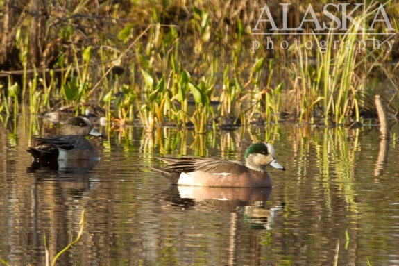American wigeon swim in a pond along Goldstream Creek.