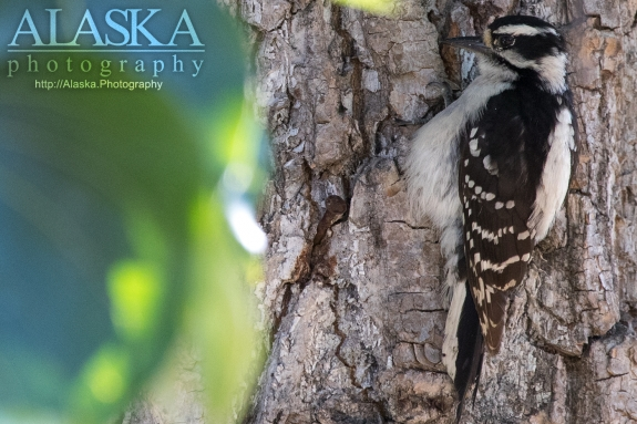 A downy woodpecker clings to the bark of a cottonwood tree near Valdez.