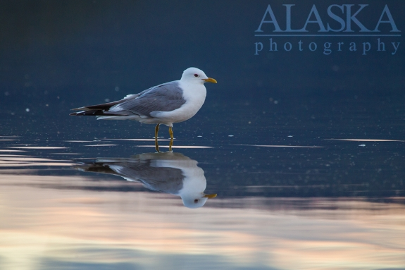 Mew gulls are also found along the shores of Quartz Lake.