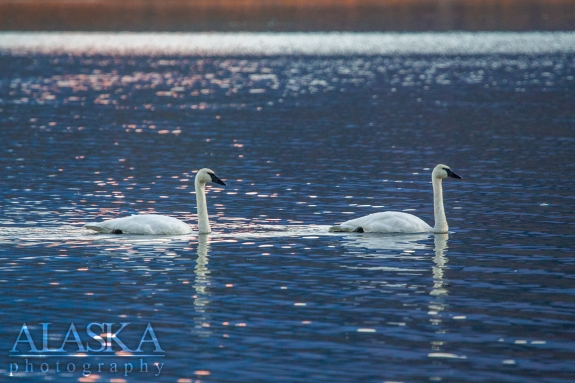 Two swans swim along Robe Lake, outside of Valdez.