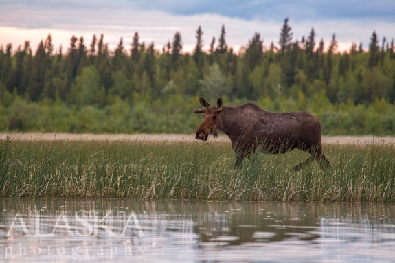 Calf moose walks along the west shore of Quartz Lake.