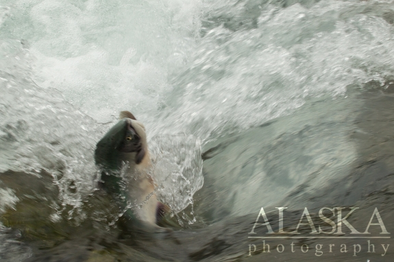 Sockeye try to climb through the weir at Solomon Gulch, Valdez.