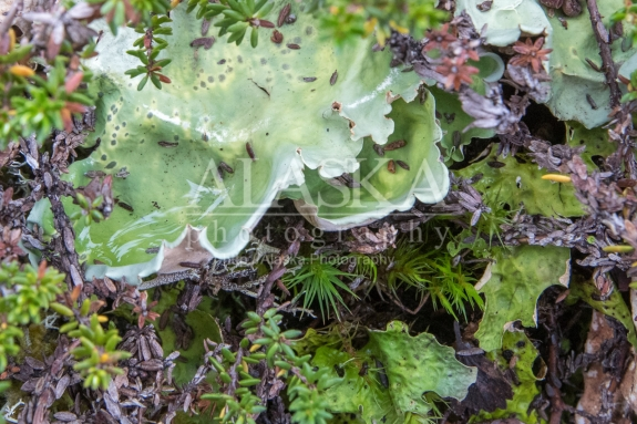 Lettuce lichen growing on Thompson Pass.