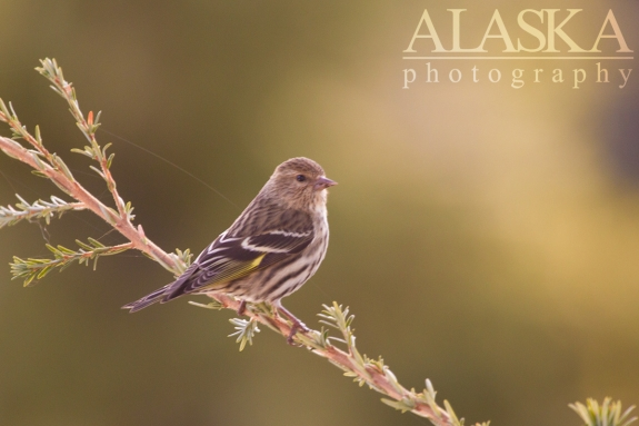 A pine siskin sits on a hemlock in the morning light along the Klehini River.