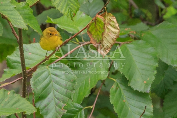 A yellow warbler perched in alders.