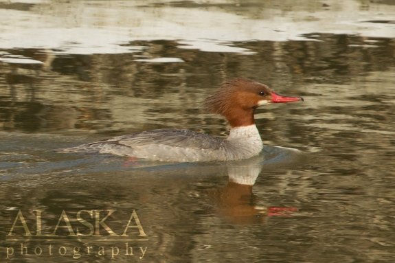 A merganser hen swims along the Chilkat River.