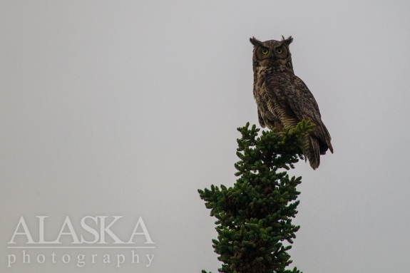 A great horned owl sits on top of a spruce outside Delta Junction.