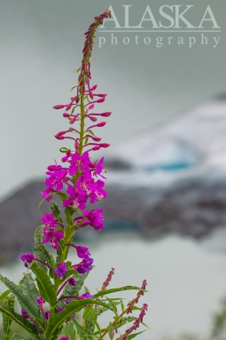 Fireweed grows on the mountain sides overlooking the glaciers lake.