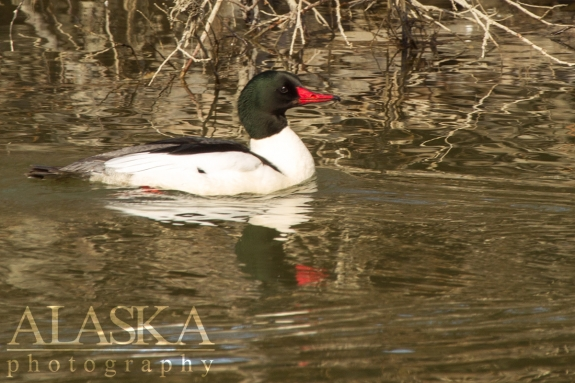 A male merganser swims along at the Chilkat River.