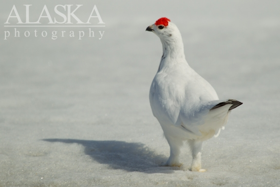 A willow ptarmigan near Haines Summit.