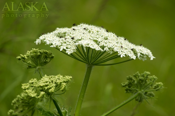 Close up shot of Cow Parsnip.