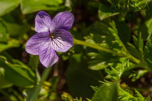 Dog Violet growing on Thompson Pass, near Valdez.