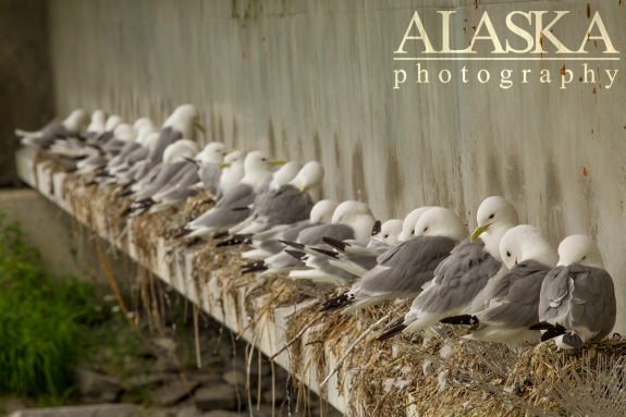Mew gulls nest along the Solomon Gulch bridge in Valdez.