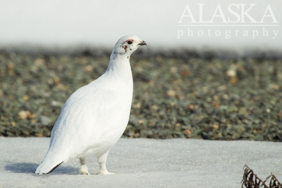 A female or hen willow ptarmigan in winter plumage.