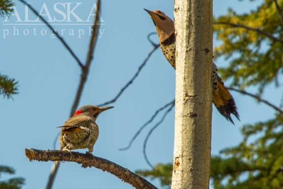 Northern flickers display for territory.