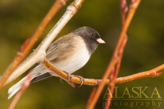 A Dark-eyed Junco sits in a cottonwood near the Klehini River.