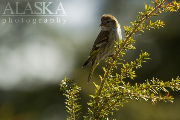 A Pine Siskin in a young hemlock near Flower Mountain.