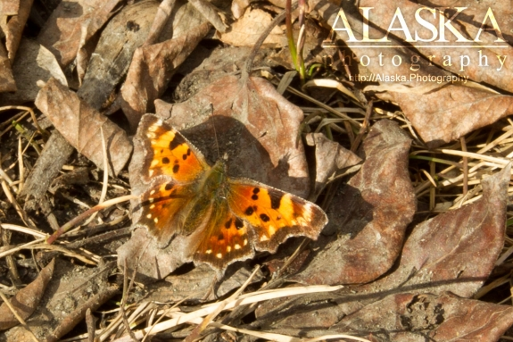 Green comma sits in fallen leaves near Gilahina River.